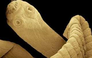 Пути заражения дифиллоботриоза, методы лечения и профилактика