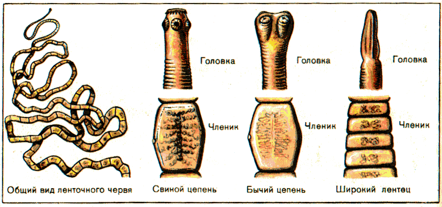 Классификация паразита