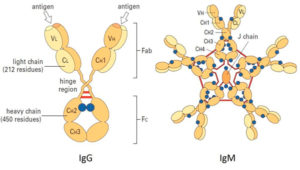 Разновидности антител