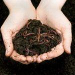 Почва удобренная инфицированными яйцами солитера фекалиями