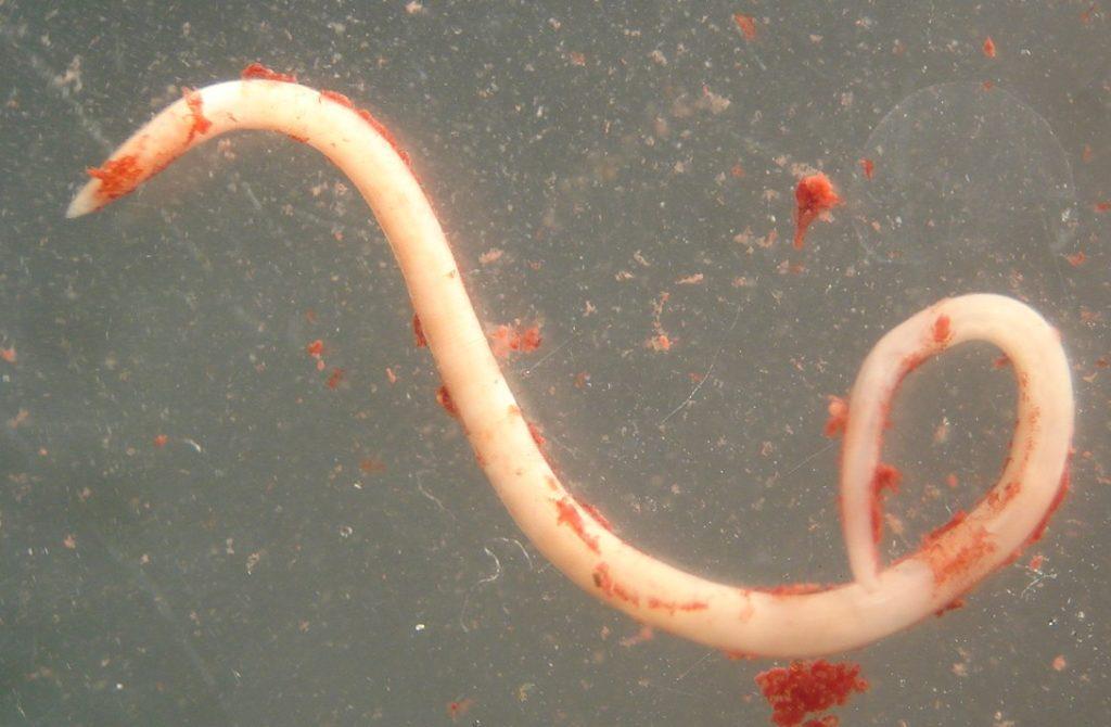Нематоды - паразиты