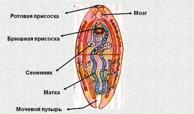 Строение трематода